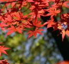 japanese-maple-1382294-1280x850